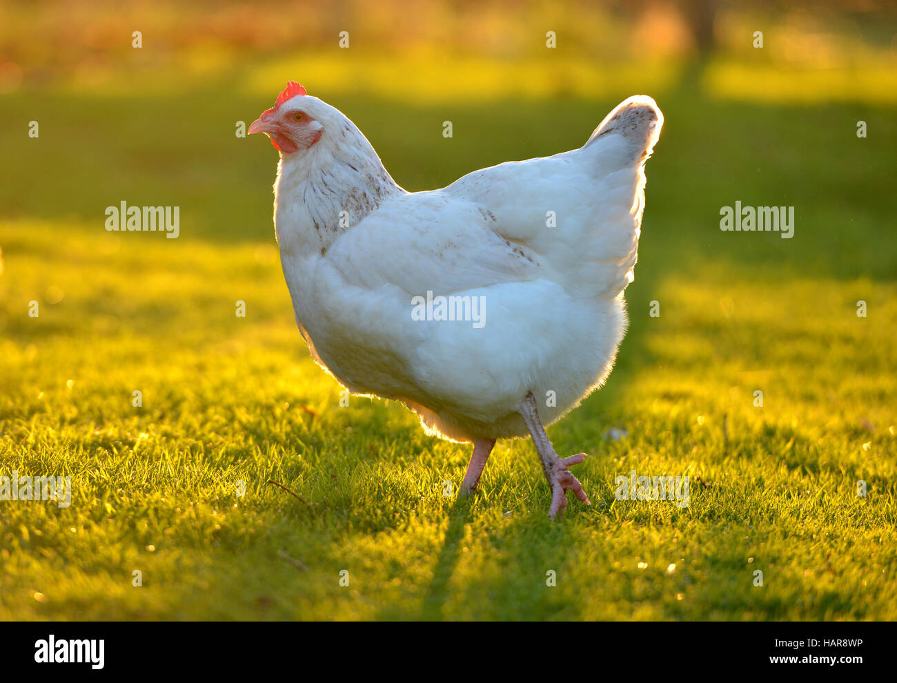 Chickens in a back garden with golden sunlight. Stock Photo