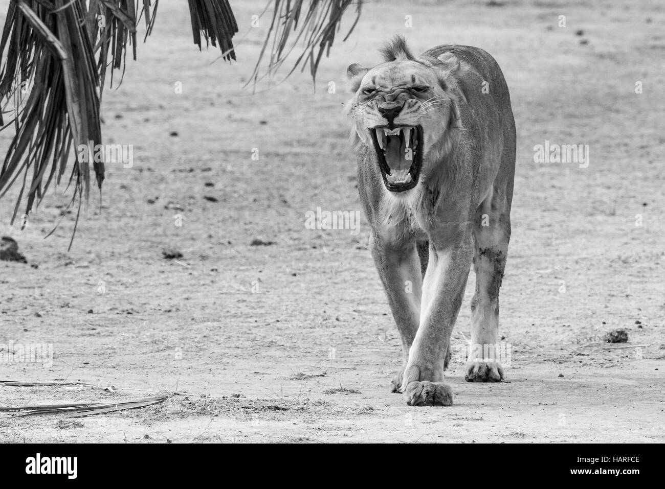 Lion,walking,snarling,roaring,Tanzania,Africa,The Selous - Stock Image