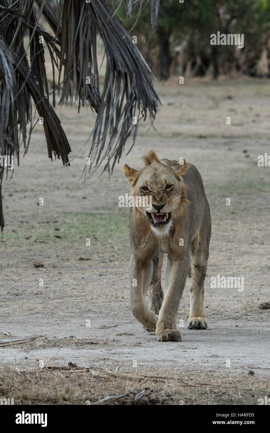 Lion snarling - Stock Image
