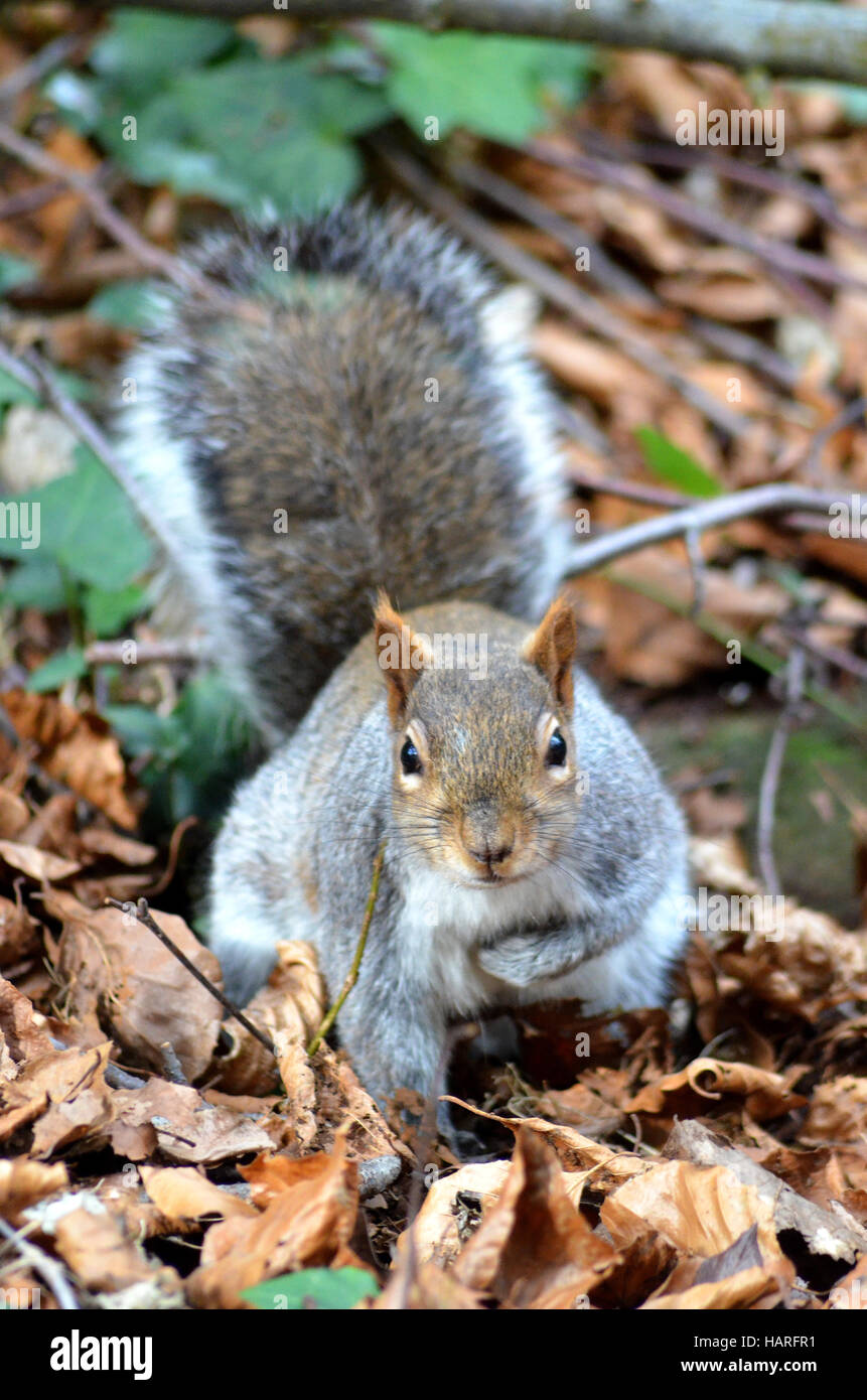cheeky squirrel in autumn, natural - Stock Image