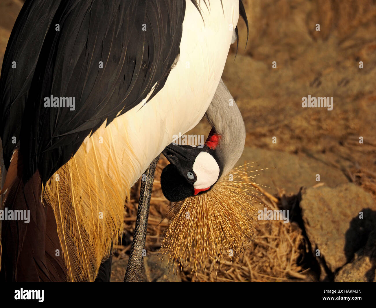 Preening Grey Crowned Crane (Balearica regulorum) with head inverted below wing on rocky shore of Lake Baringo Rift Stock Photo