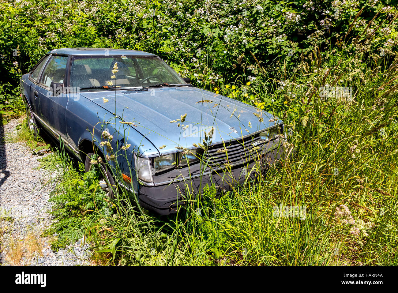Vehicle being consumed by a blamble bush on Vashon Island, near Seattle, in the Pacific Northwest of the USA - Stock Image