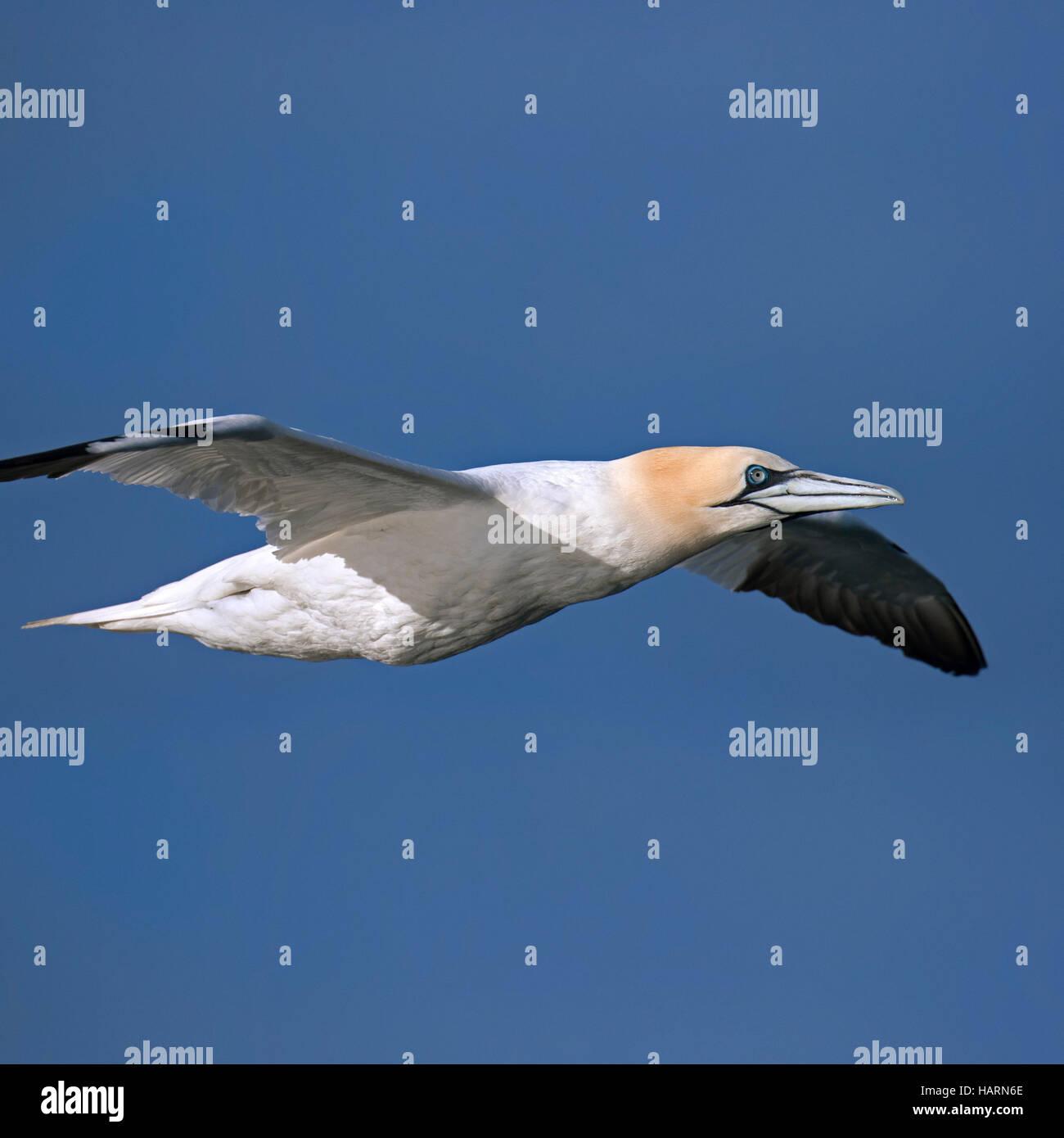 Close up of Northern gannet (Morus bassanus / Sula bassana) in flight against blue sky - Stock Image