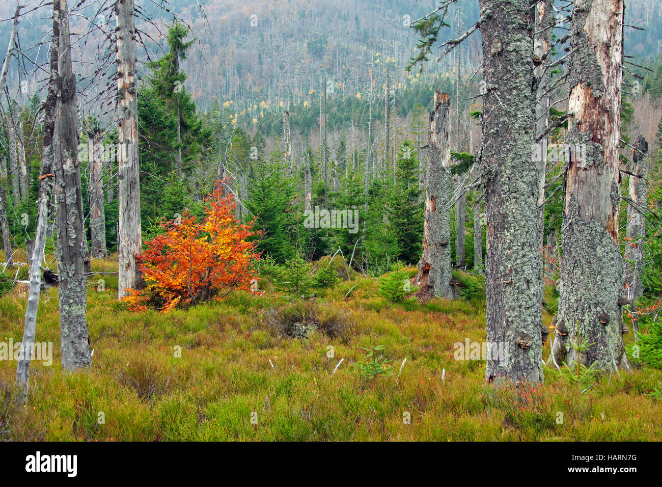 Killed spruce trees afflicted by European spruce bark beetle (Ips typographus L.) infestation on Rachel mountain, - Stock Image