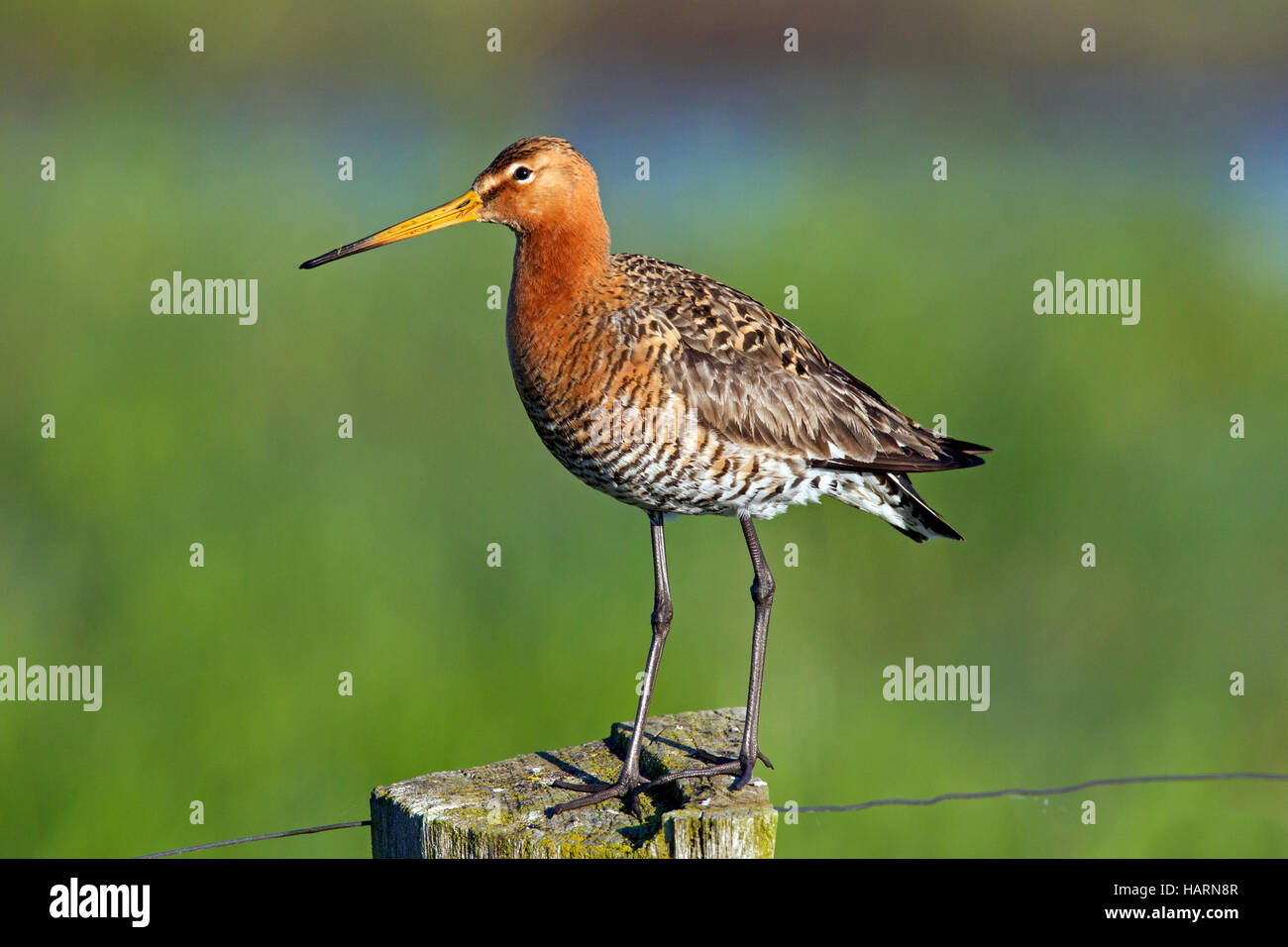 Black-tailed godwit (Limosa limosa) male perched on fence post in meadow in spring - Stock Image