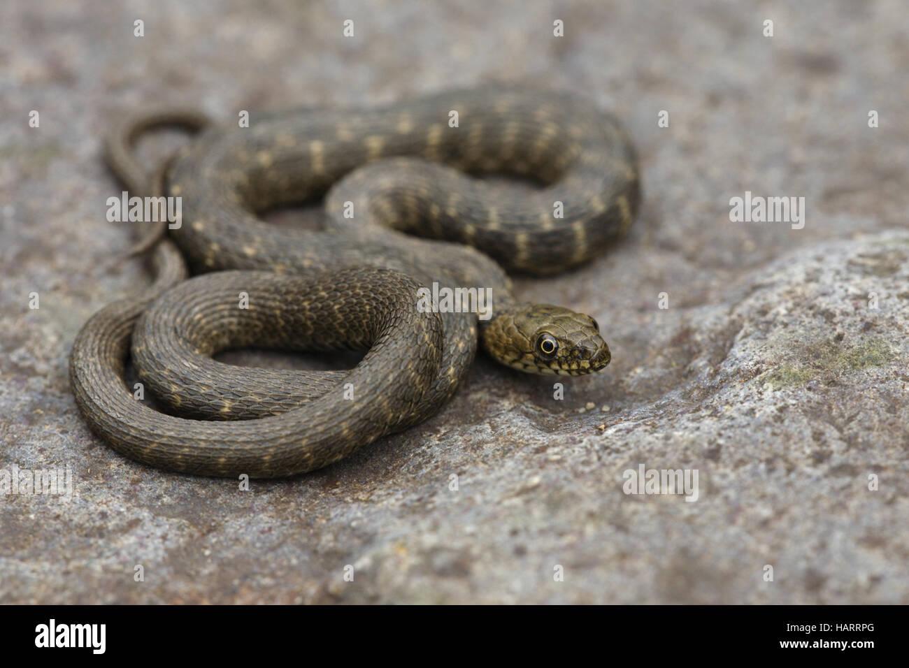Wuerffelnatter, Natrix tessellata, dice snake - Stock Image