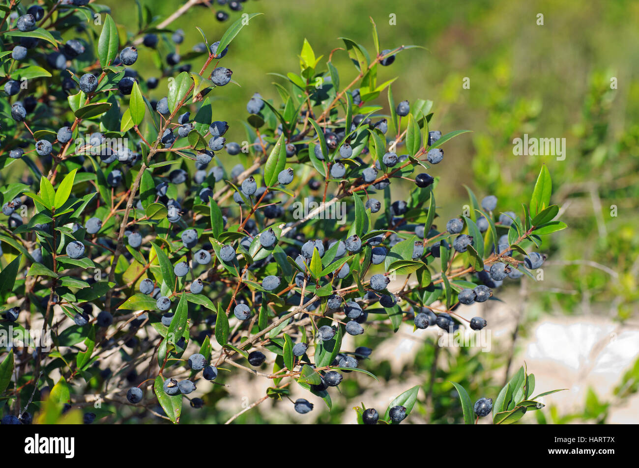 This is Myrtus communis, the Common myrtle with fruits (berries), family Myrtaceae - Stock Image