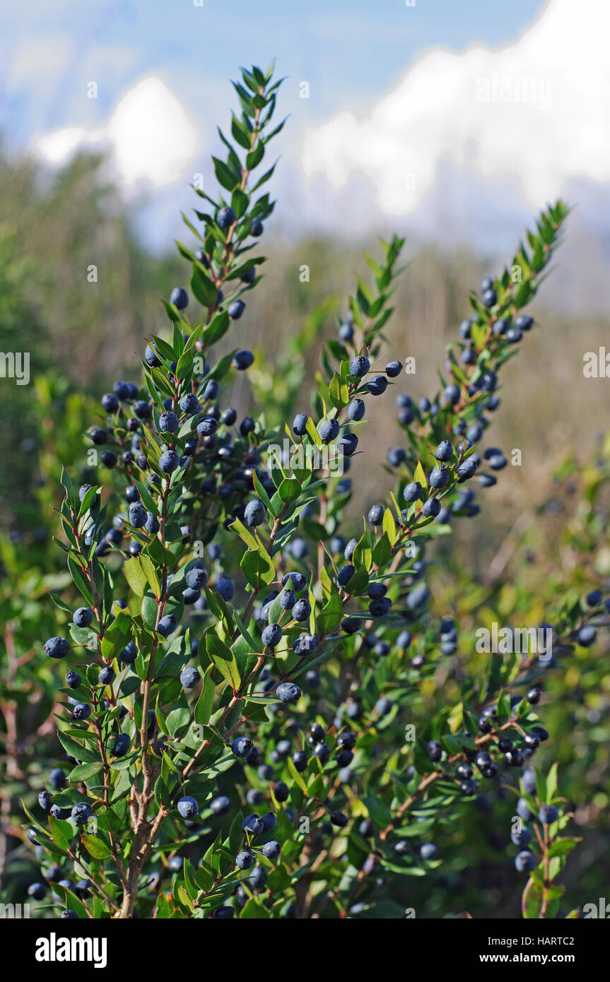 This is Myrtus communis, the Common myrtle - with fruits (berries) ,family Myrtaceae - Stock Image