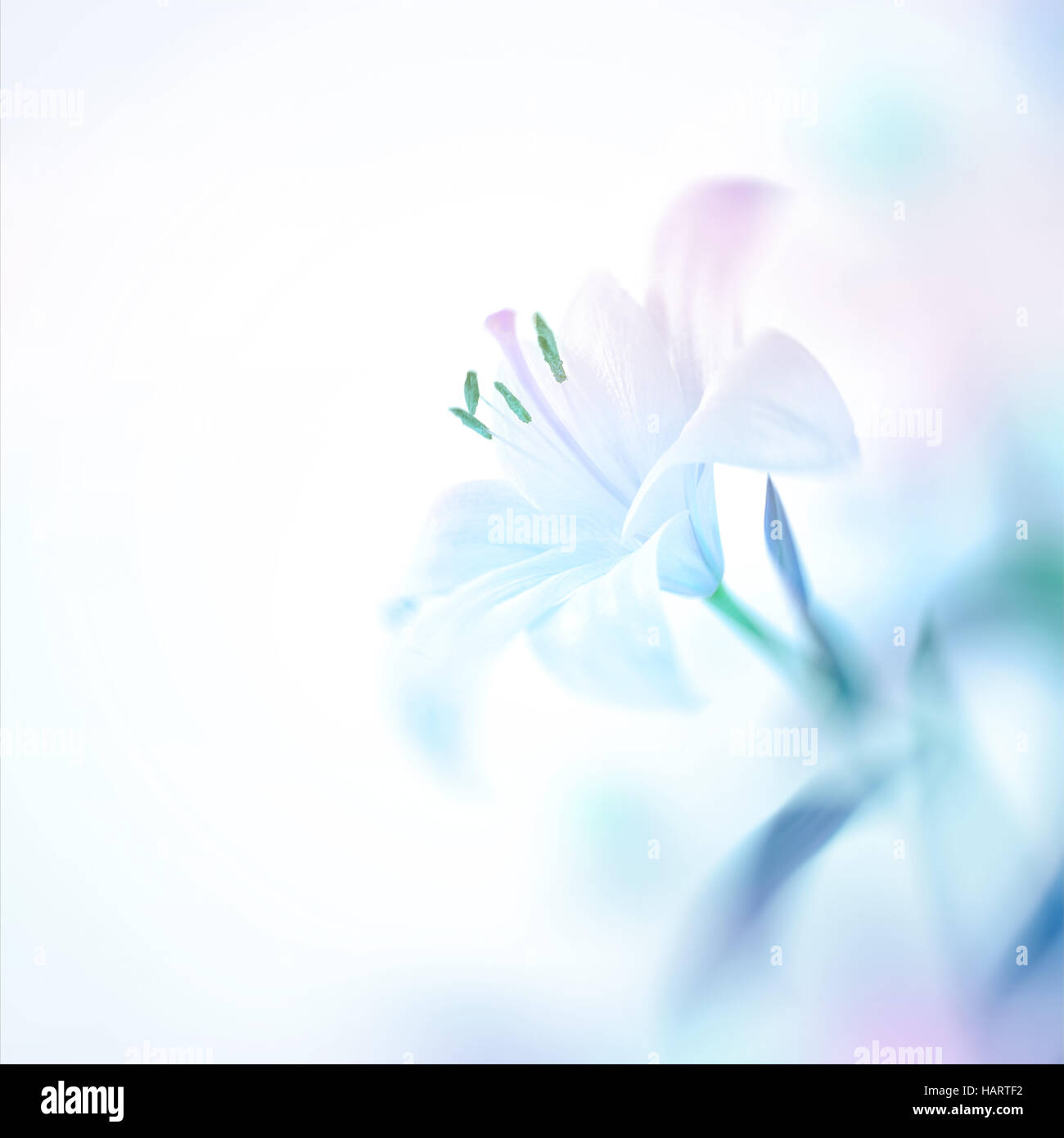 Closeup photo of a beautiful gentle white lily flower, nice floral background with copy space, elegant invitation - Stock Image