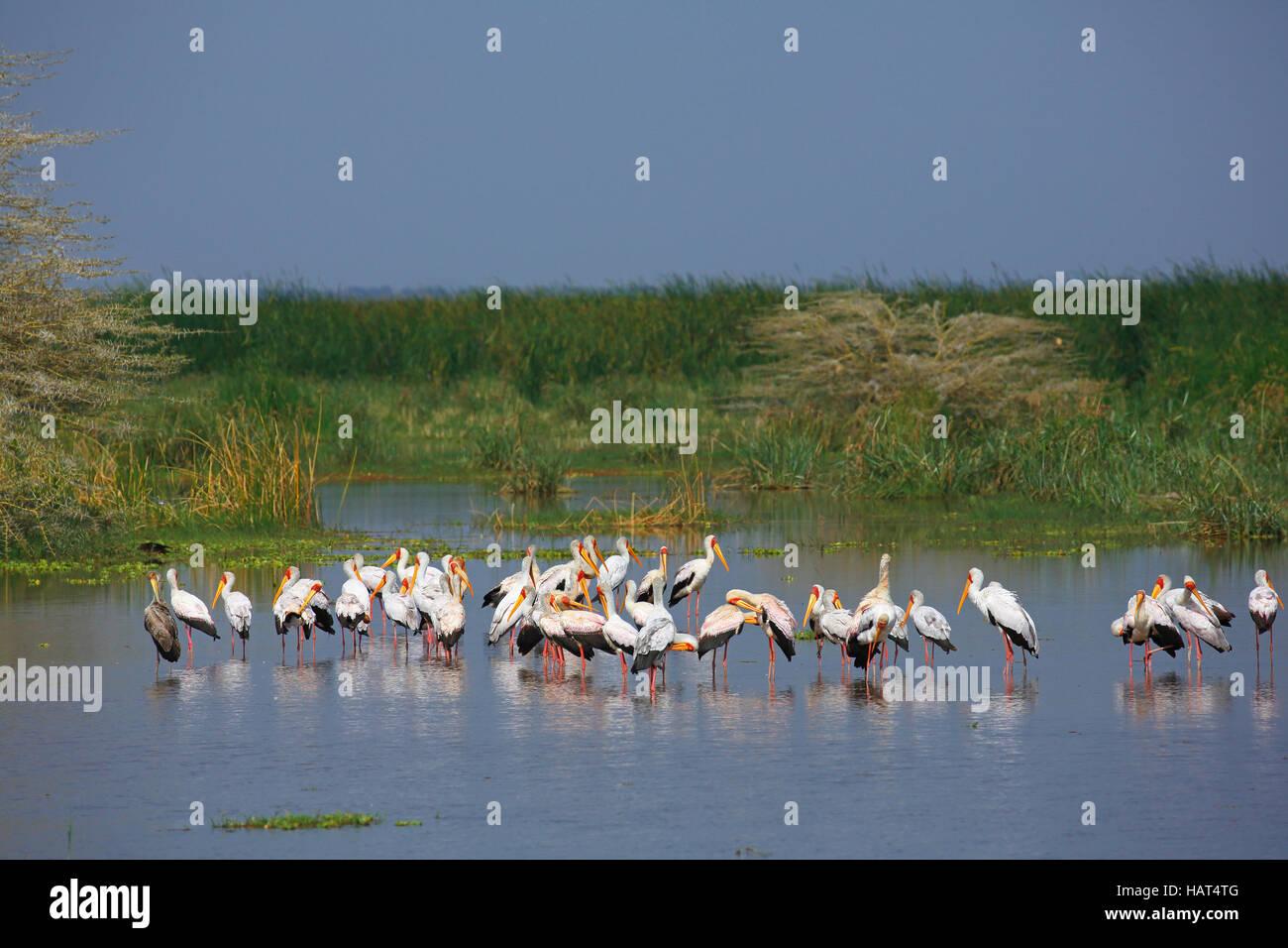 Yellow-billed storks (Mycteria ibis) standing in Lake Manyara, shallow water, Lake Manyara National Park, Tanzania - Stock Image