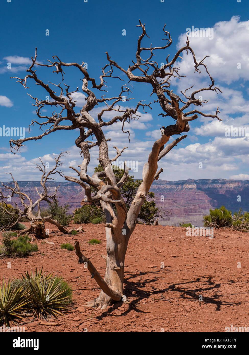 Dead piñon tree, Cedar Ridge, South Kaibab Trail, Grand Canyon South Rim, Arizona. - Stock Image