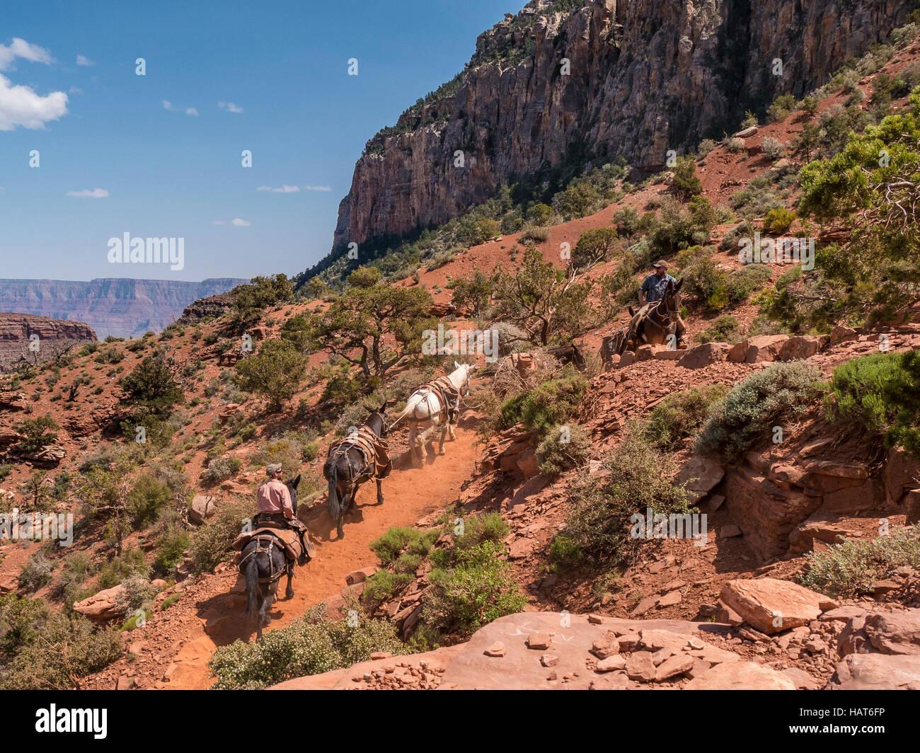Mules doing trail maintenance, Cedar Ridge area, South Kaibab Trail, Grand Canyon South Rim, Arizona. - Stock Image