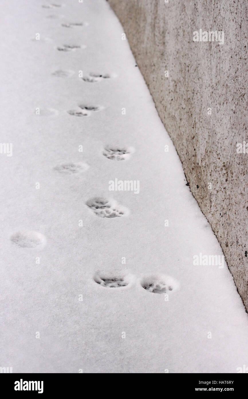 snowy crust, feline prints trace, white background - Stock Image