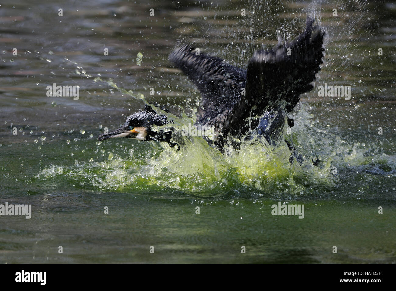 Cormorant (Phalacrocorax carbo) - Stock Image