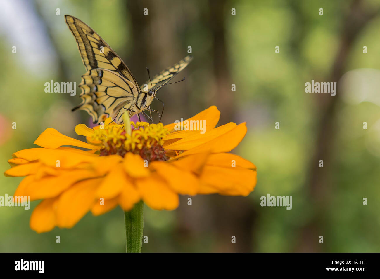 Tiger Swallowtail butterfly (Papilio glaucas) with yellow and black striped markings - Stock Image