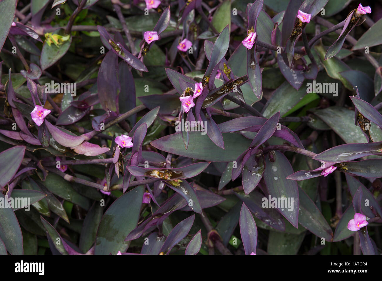 Wandering jew ground cover - Stock Image