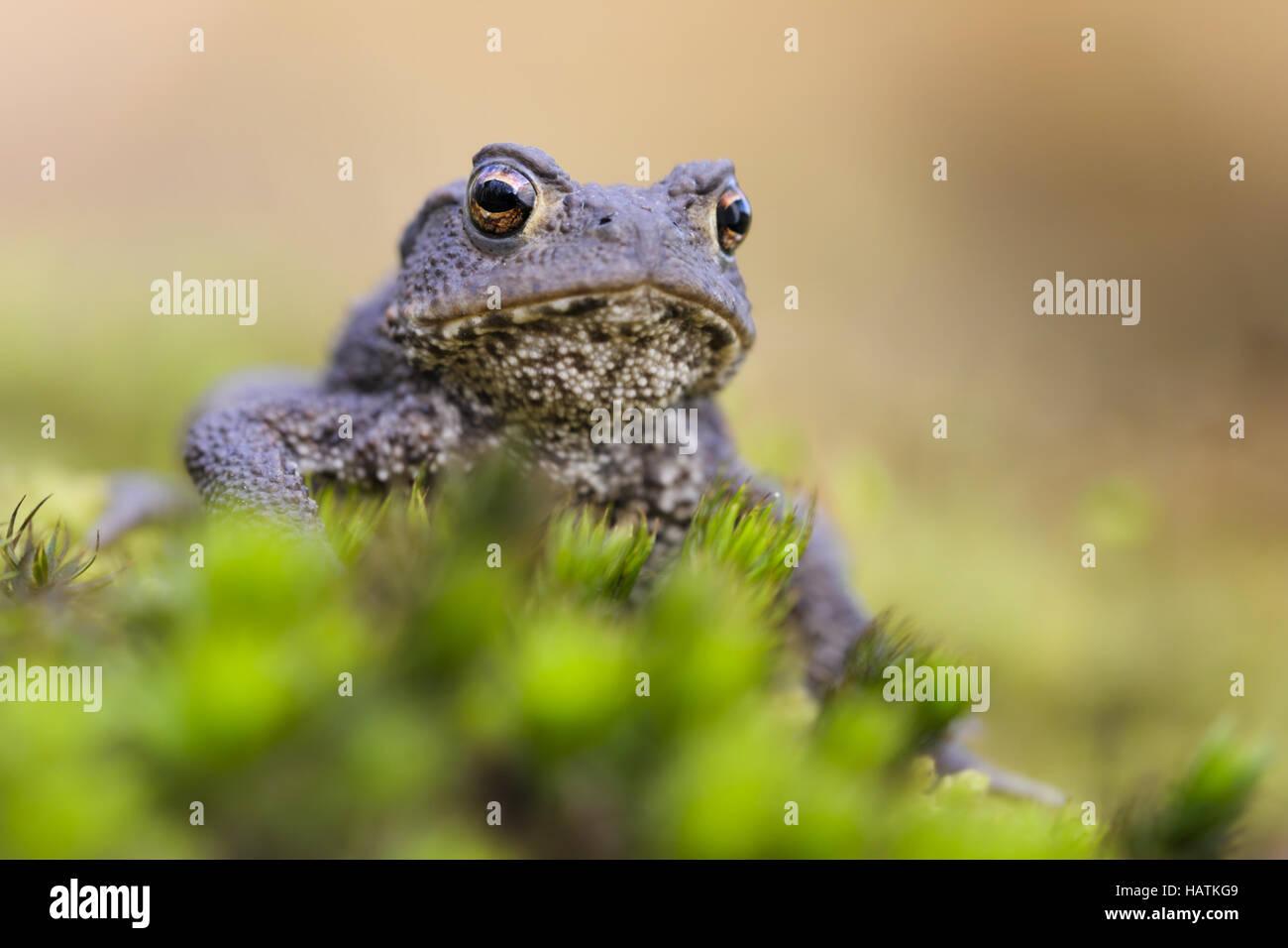 Erdkröte (Bufo Bufo)7.jpg Stock Photo