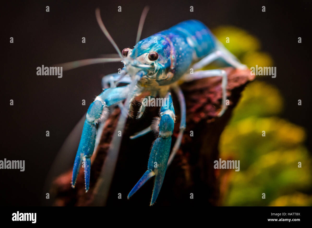 Blue Crayfish in Tropical Freshwater Tank - Stock Image