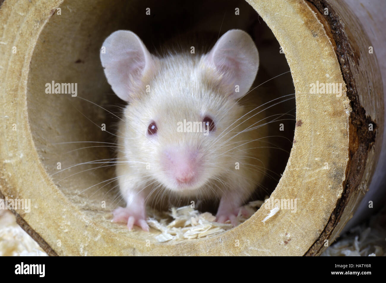 Farbmaus, Mus musculus, Laboratory Mouse - Stock Image