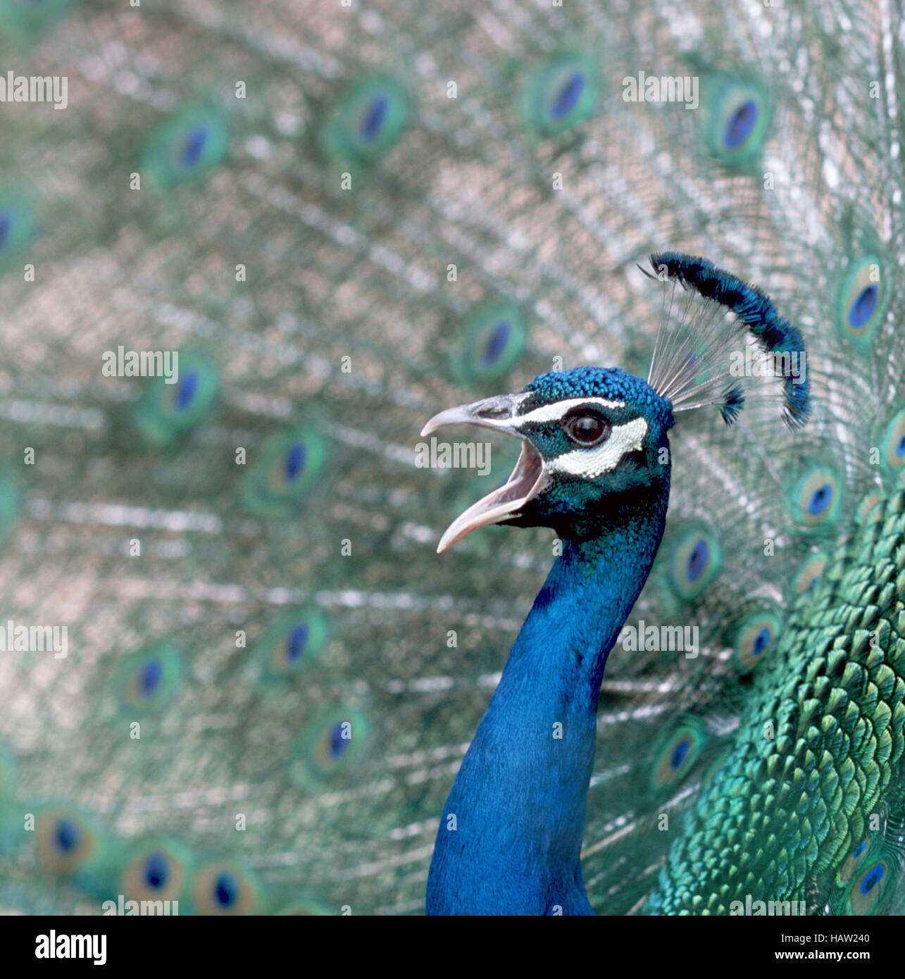 Peacock screeches - Stock Image