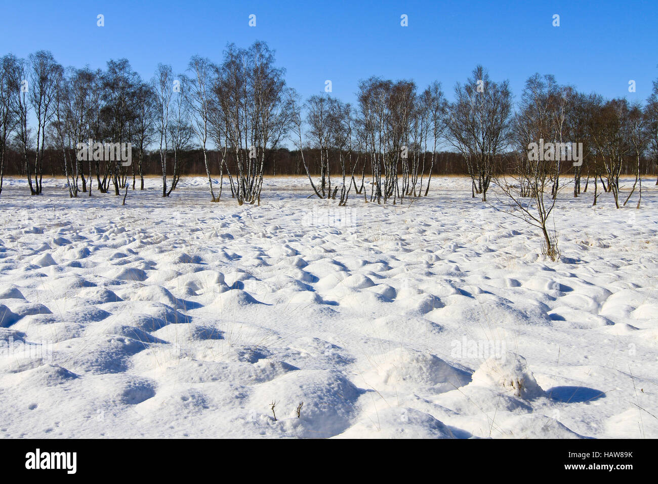 Birktree in winterly moor landscape Stock Photo