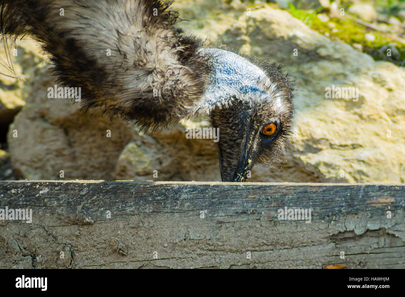 Emu beim Essen Stock Photo