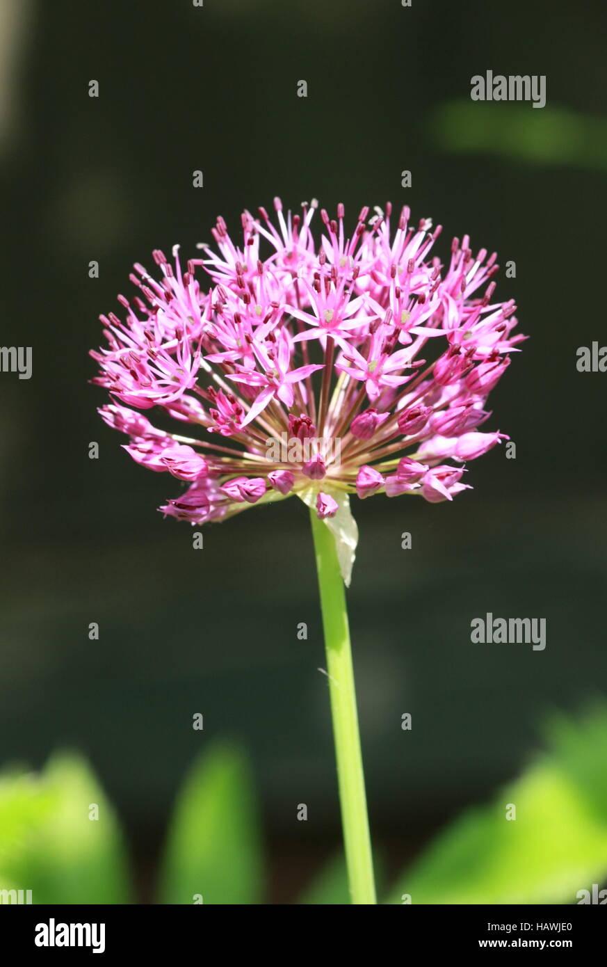 Spherical umbel, flower, bulb Stock Photo
