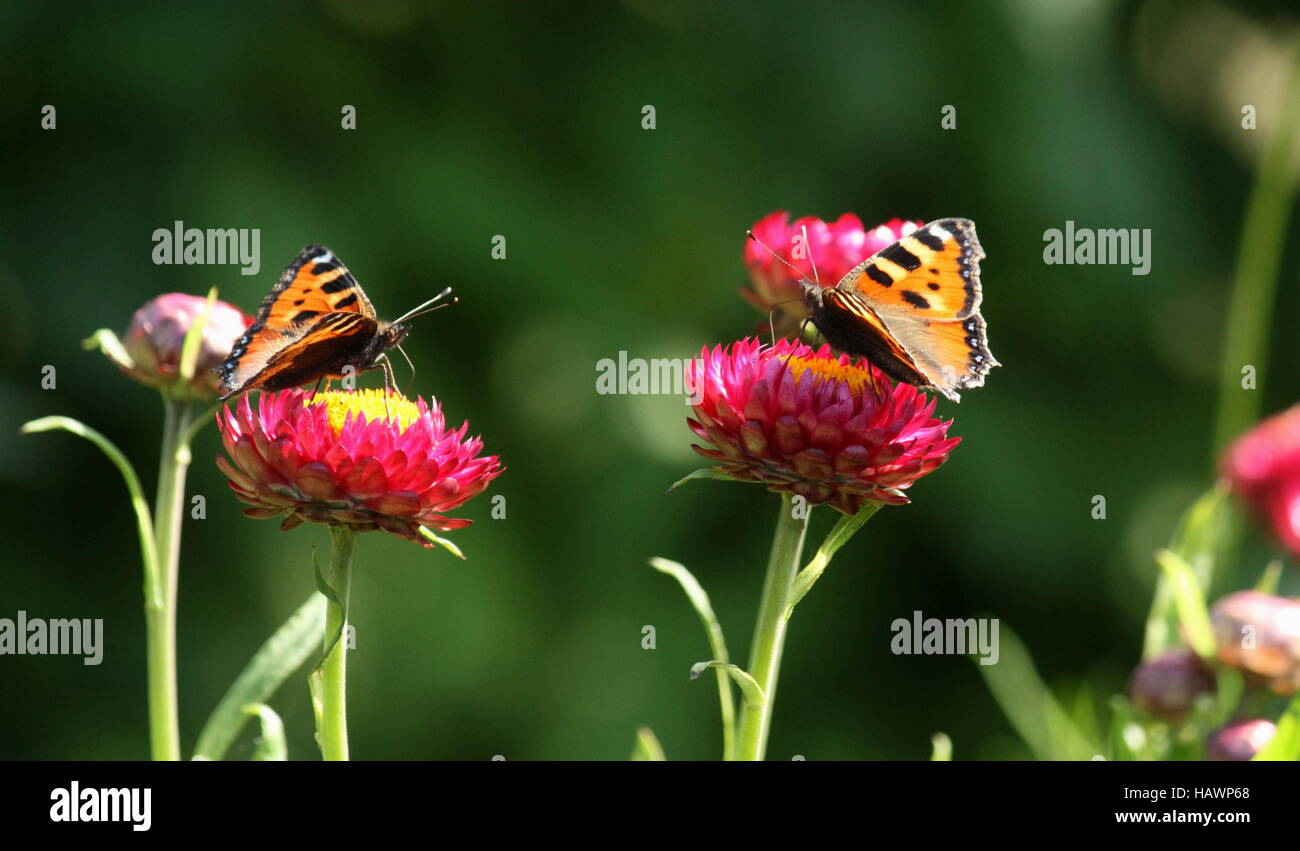 Butterflies, little fox on flower - Stock Image