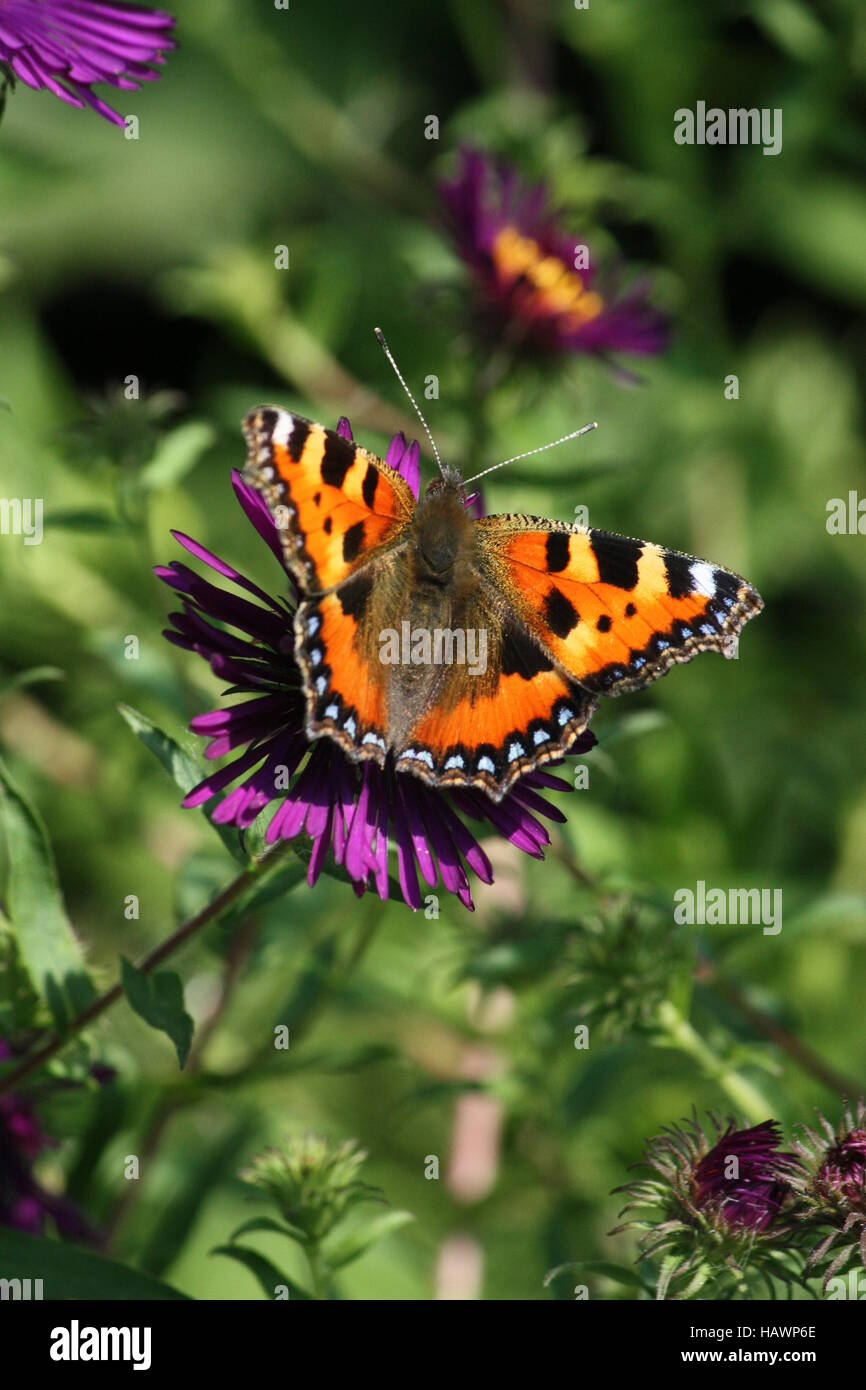 Butterfly, little fox on aster - Stock Image