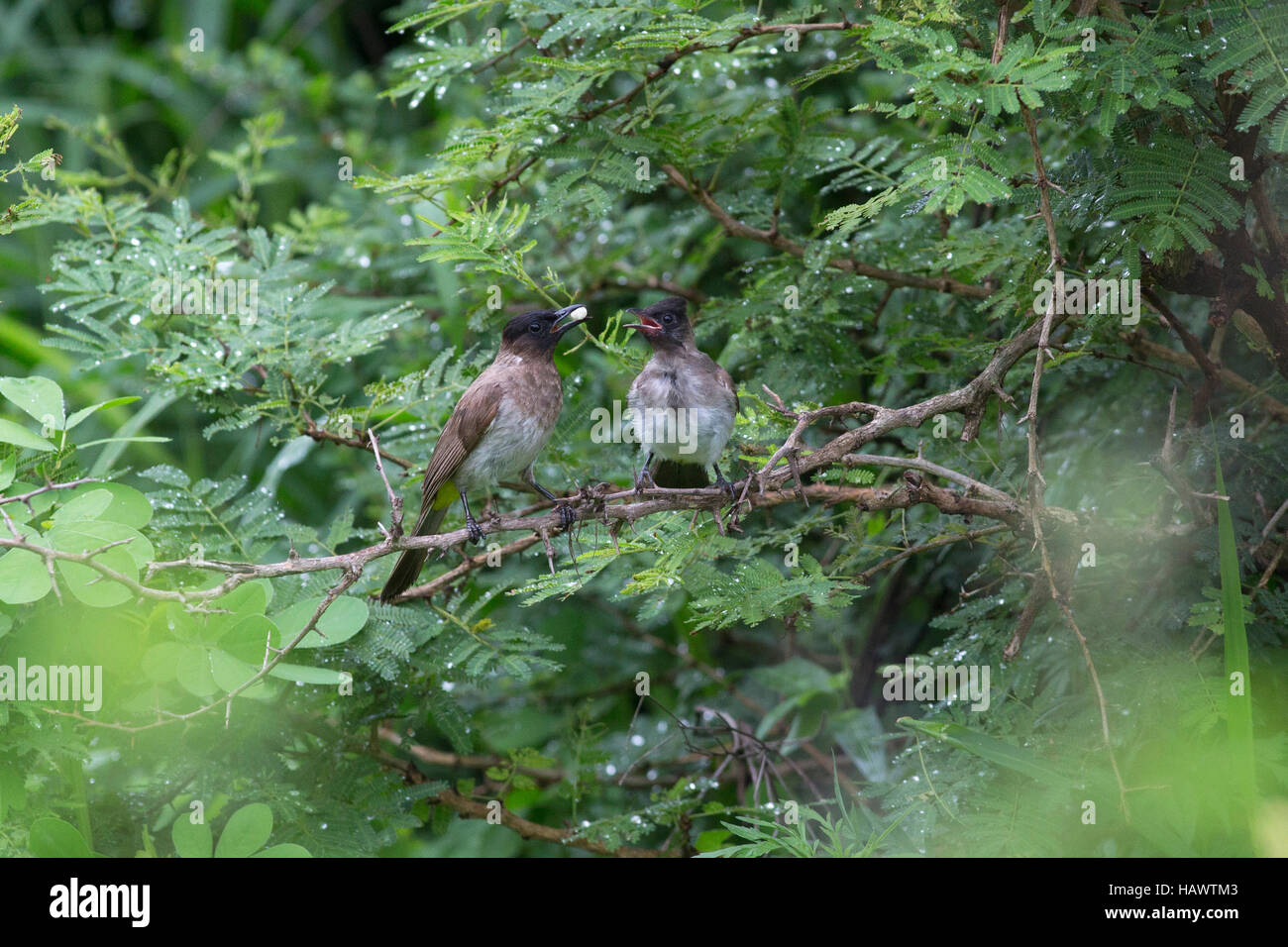 A dark-capped bulul or black-eyed bulbul (pycnonotus tricolor) feeding its chick on a branch i - Stock Image