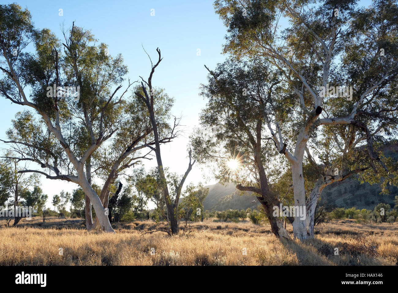 Gum trees in Honeymoon Gap, MacDonnell Ranges, Northern Territory, Central Australia - Stock Image
