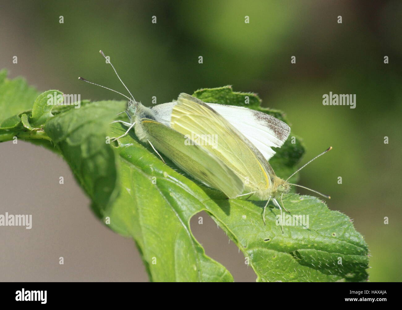 Cabbage butterflies, pairing - Stock Image