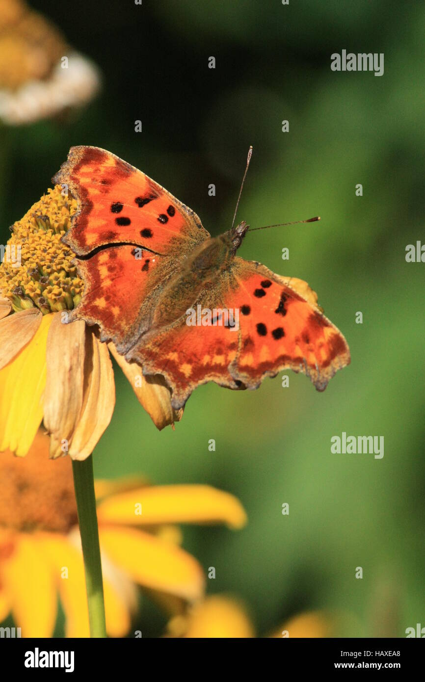 Butterfly, small copper butterfly - Stock Image