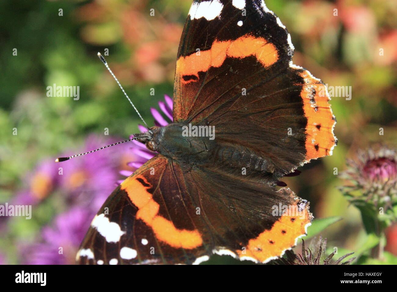 Admiral, Schmetterling - Stock Image