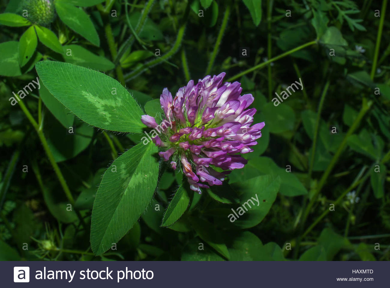 Purple Clover Flower Closeup Stock Photos Purple Clover Flower