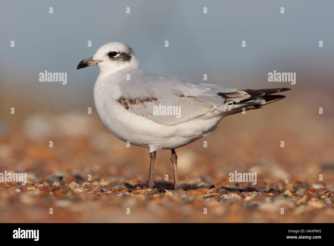 First winter Mediterranean Gull on an English beach in winter - Stock Image