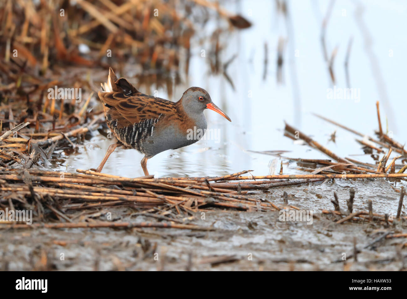 Adult Water Rail (Rallus aquaticus) walking across the shore of a reedbed pool - Stock Image
