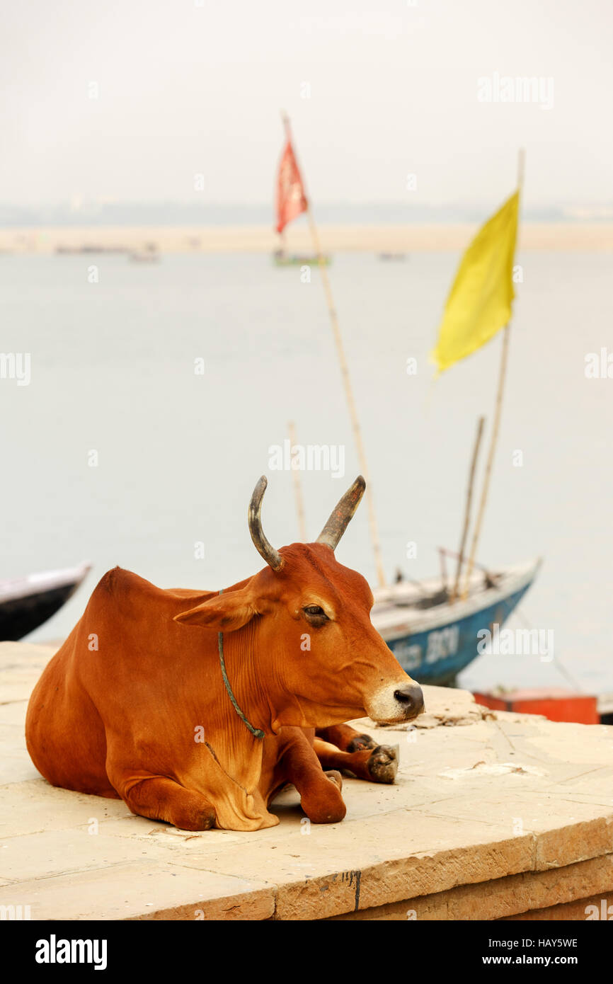An ox sitting on the gahts of Varanasi and it seems very comfortable - Stock Image