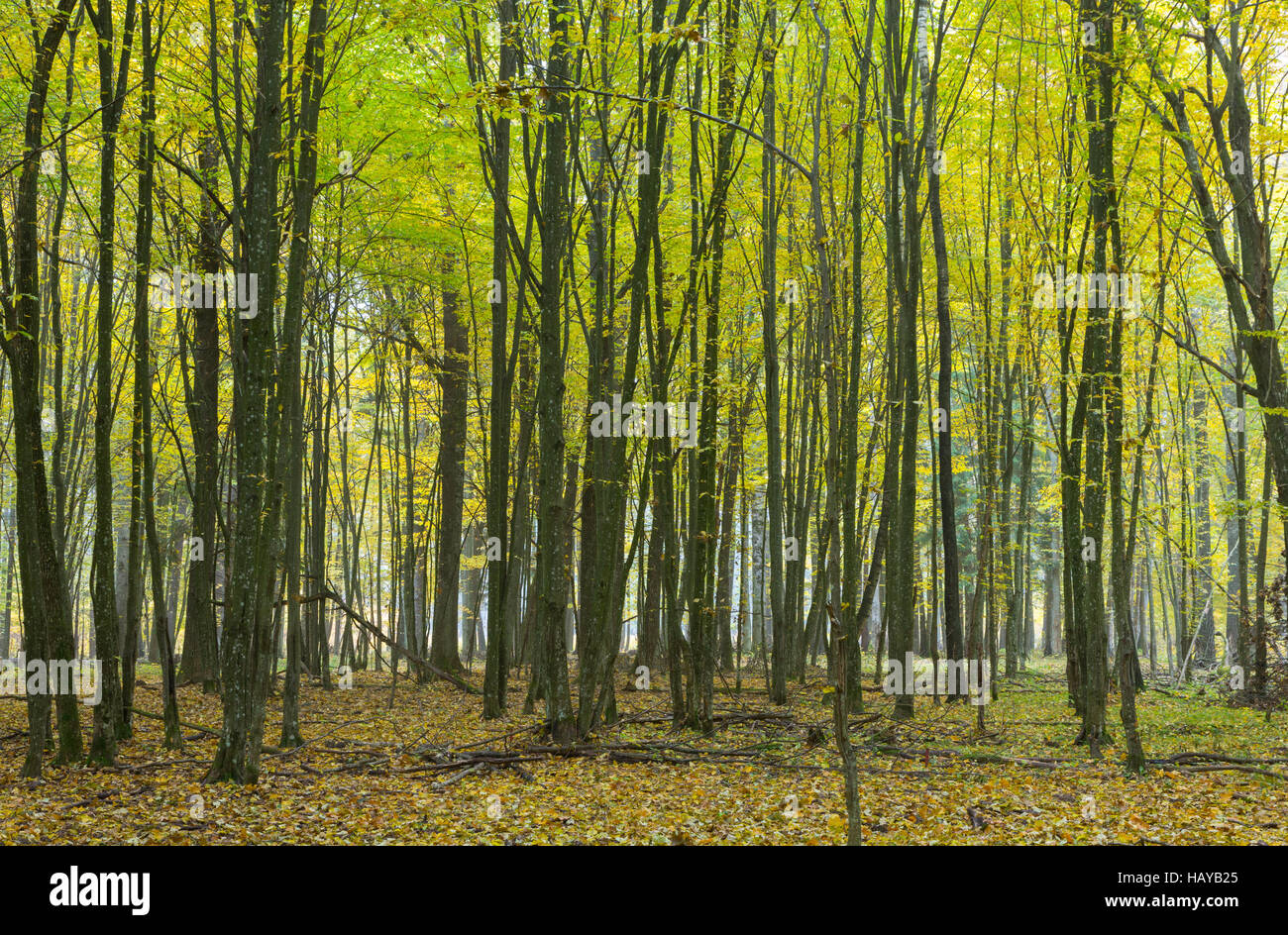 Hornbeam trees in autumnal landscape of primeval deciduous stand, Bialowieza Forest, Poland, Europe Stock Photo