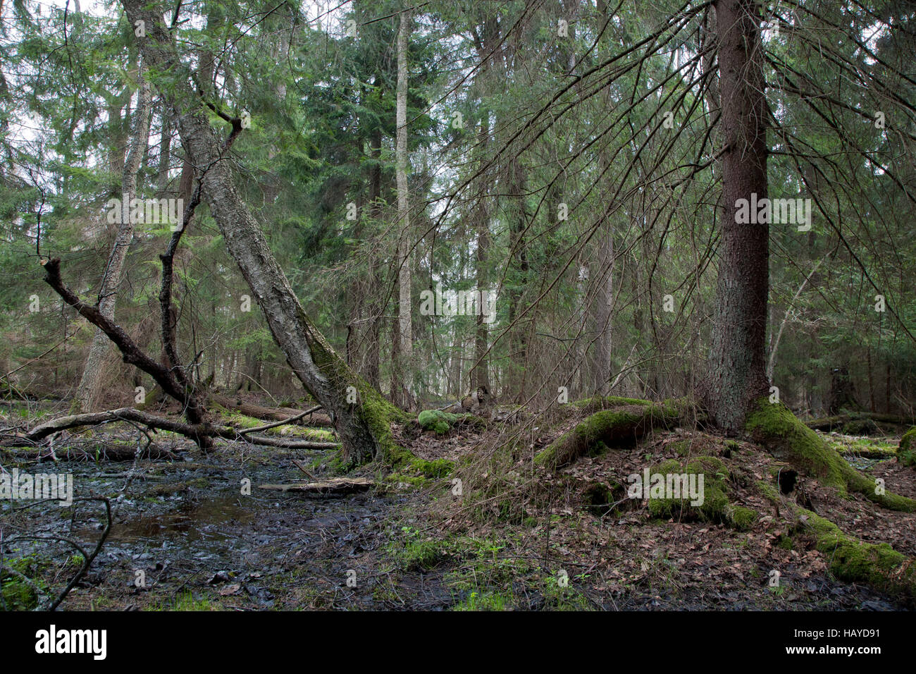 Wet coniferous stand in spring with spruce tree next to waterhole,Bialowieza Forest,Poland,Europe - Stock Image