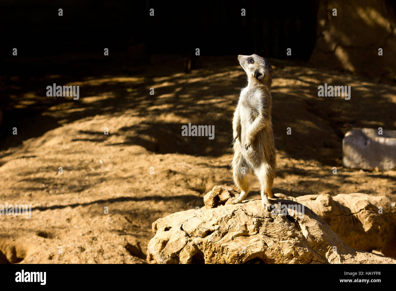 Meerkat (Suricata suricatta) on its feet. - Stock Image