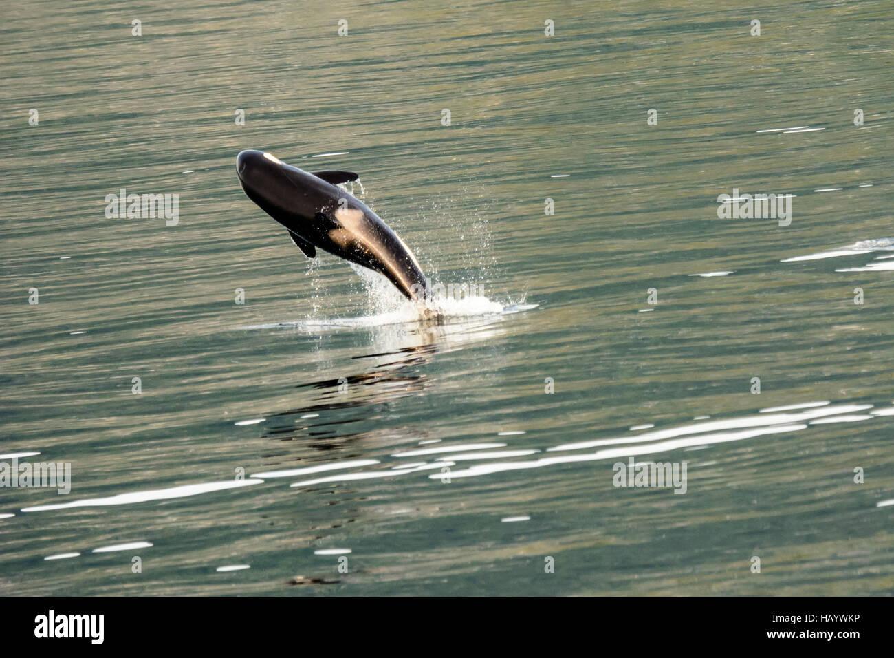 killer whale leaping for joy - Stock Image