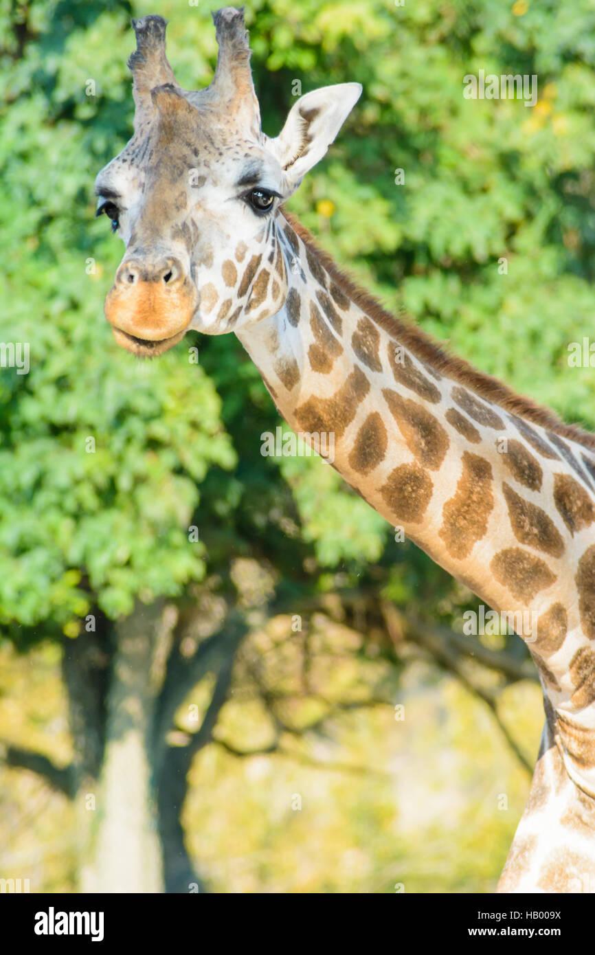 Giraffe im Bild - Stock Image
