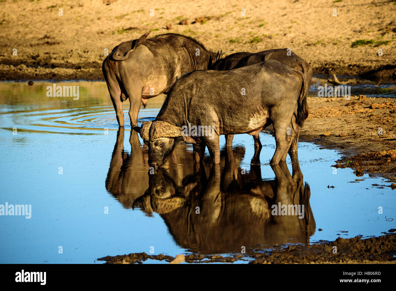 Buffalos and their reflections at the waterhole - Stock Image