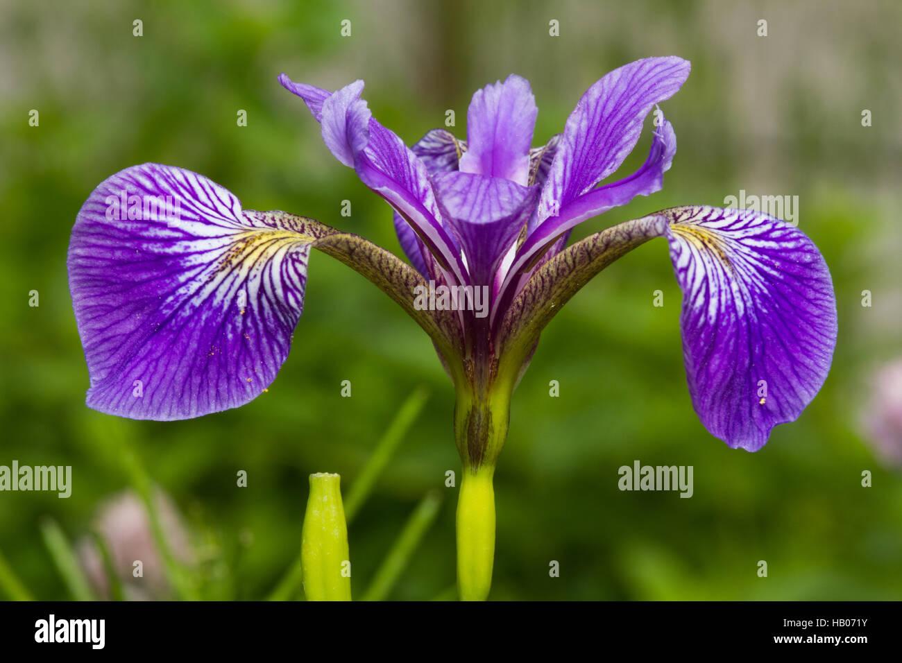 Blaue Schwertlilie - Stock Image