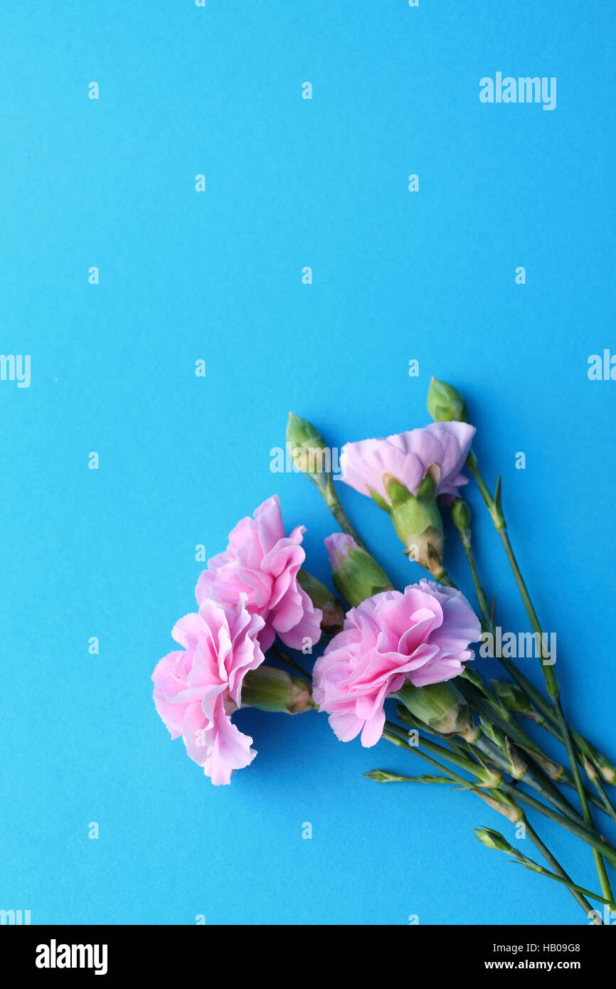 Blue flowers background, carnation - Stock Image