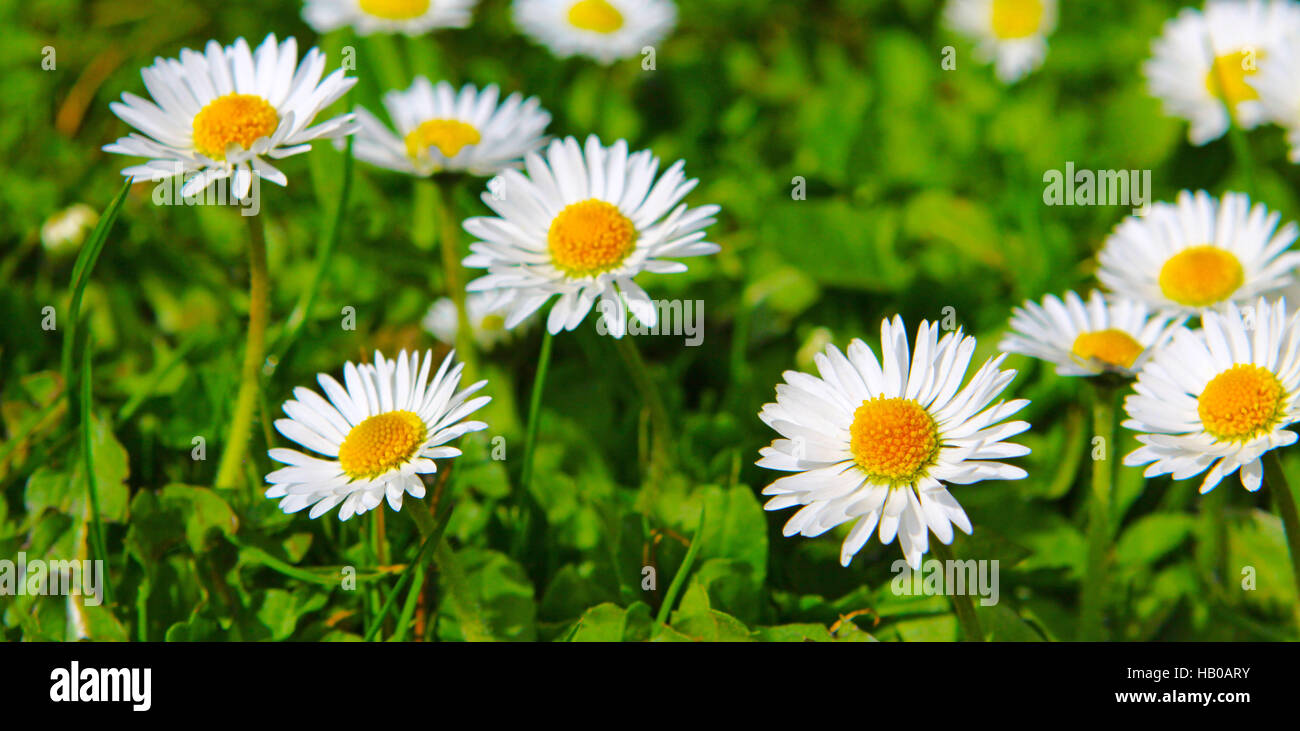 Daisy Birthday Stock Photos Daisy Birthday Stock Images Alamy
