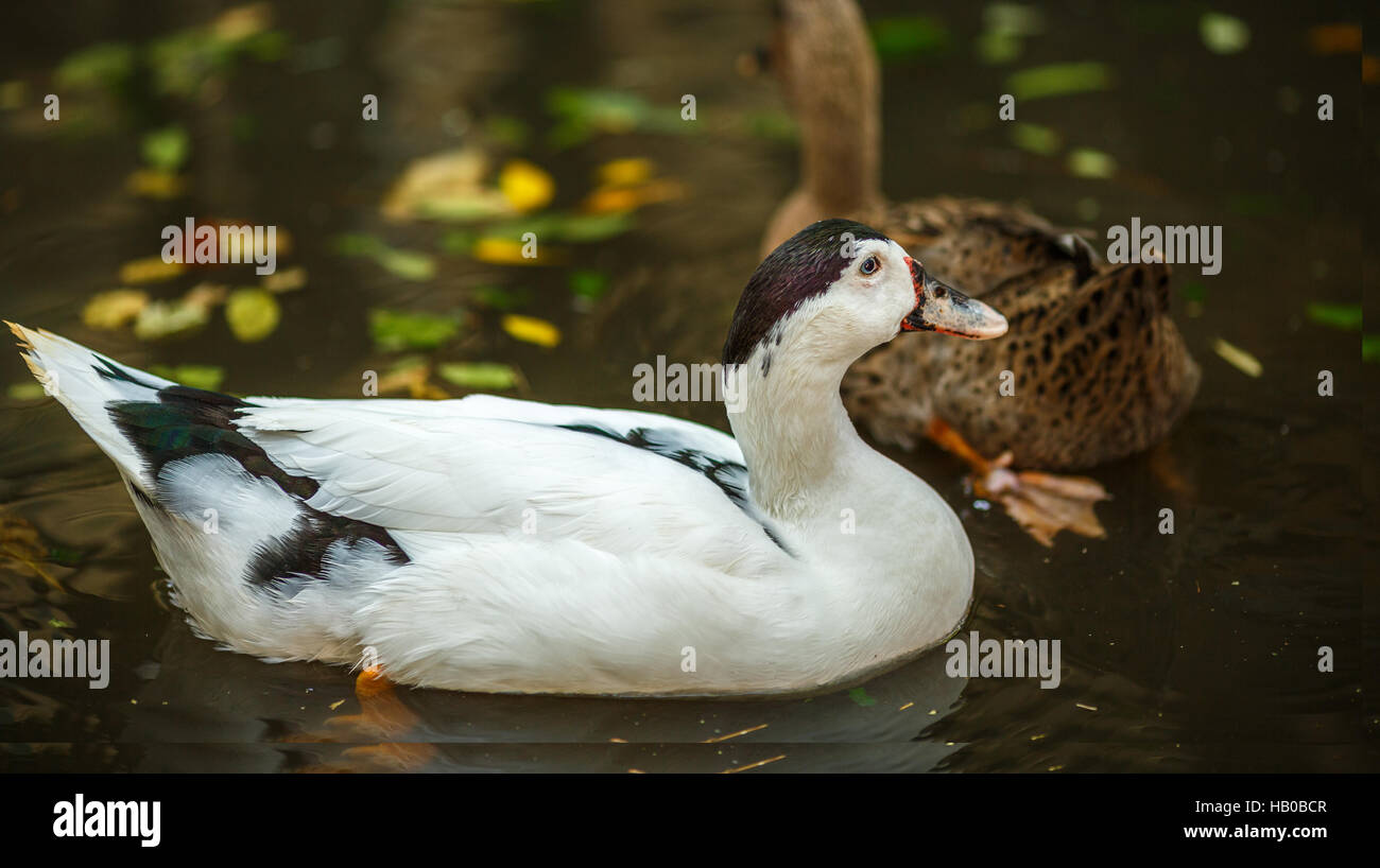 White duck on the pond in autumn - Stock Image
