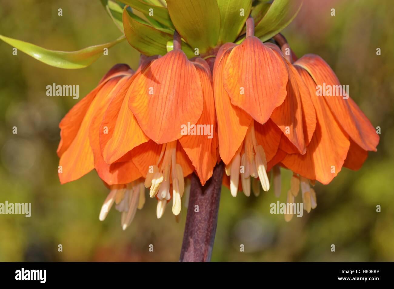 Fritillaria imperialis Stock Photo