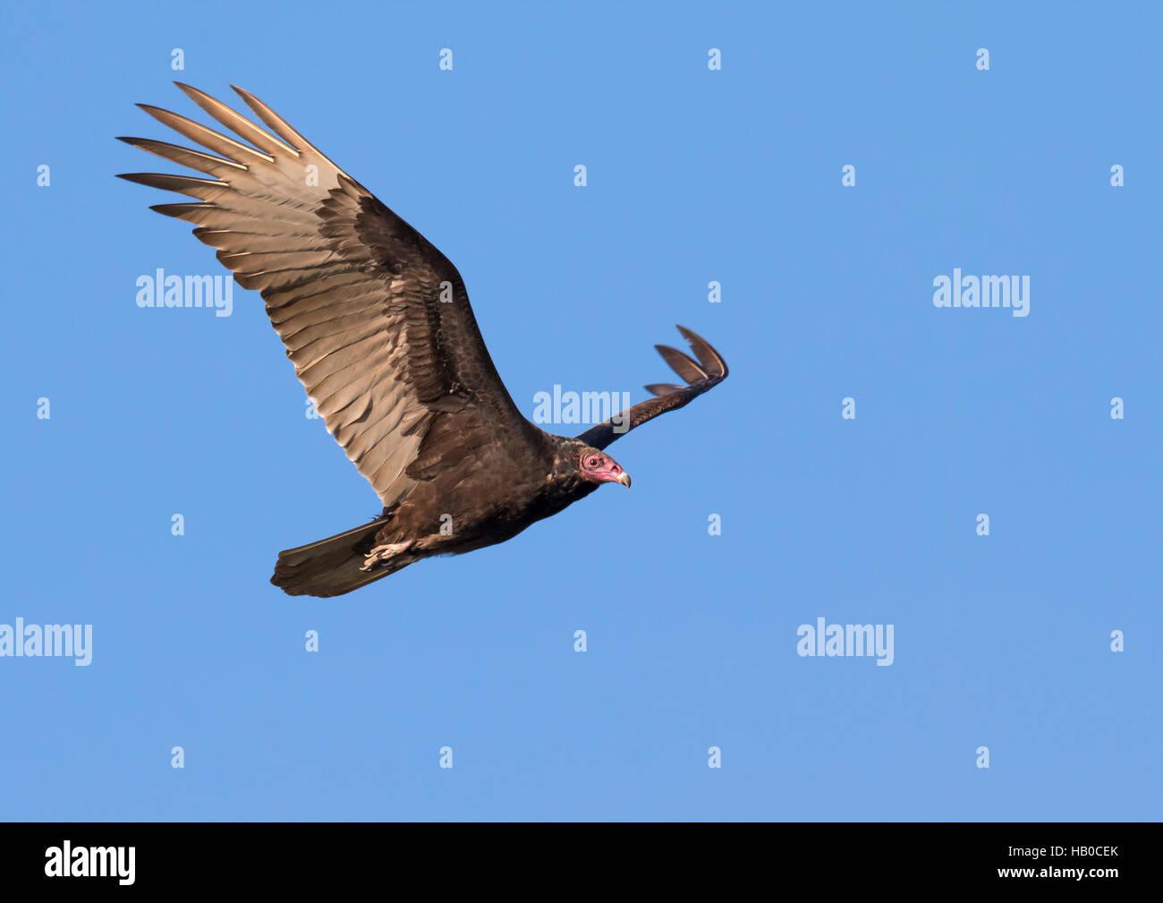 Turkey vulture (Cathartes aura) flying, Aransas, Texas, USA. - Stock Image